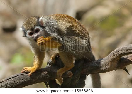 Common squirrel monkey (Saimiri sciureus). Wildlife animal.