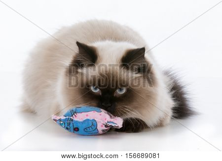 ragdoll kitten playing with catnip toy