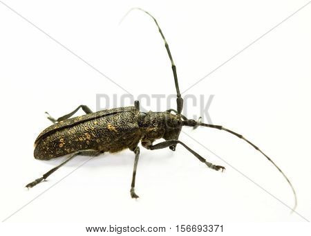 Marmorated Longhorn Beetle (Monochamus sutor) on white background