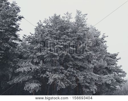 Snowy fir trees in the forest nature cold frost frozen hoar white precipitation landscape