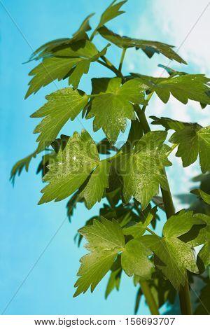 Lovage leaves, food ingredients - Levisticum officinale