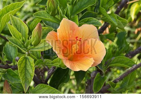 Hibiscus Flower / Beautiful hibiscus flower on a green background.