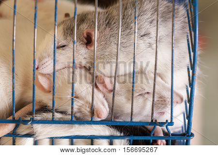 domestic rats sleeping in cage close up