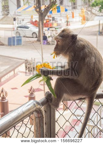 The little hungry monkey stole flowers to eat Thailand