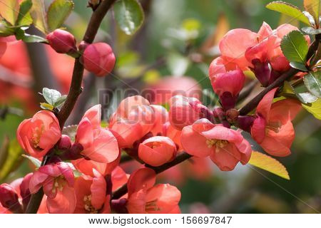 Chaenomeles Japonica. Chaenomeles japonica branches with beautiful flowers. Detail