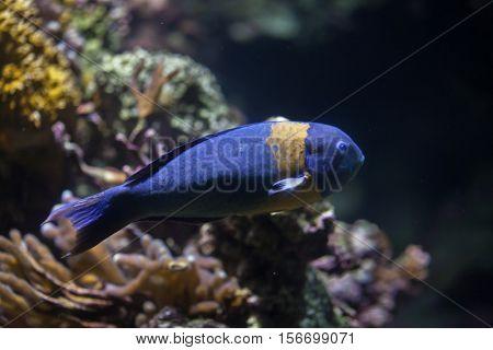 Saddle wrasse (Thalassoma duperrey). Marine fish.