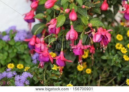 Fuchsia / The fuchsias are a species of genus in the family of the evening primrose family.