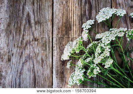 Milfoil Flower on Rustik Wooden Background Studio Photo