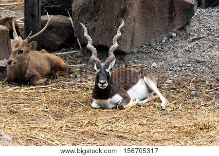 Indian male blackbuck antelope or (antilope cervicapra).