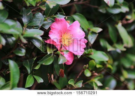 a Camellia japonica at nature  park 2015