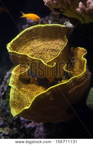 Yellow scroll coral (Turbinaria reniformis), also known as the yellow lettuce coral, and sea goldie (Pseudanthias squamipinnis), also known as the lyretail anthias.