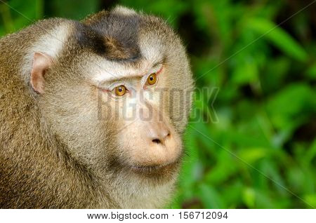 Northern pig-tailed macaque (Macaca leonina) in Khao Yai National Park Thailand