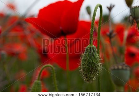 Unblown green head poppy on a background of red flowering poppies selective focus