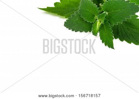 Fresh Green Mint, Lemon Balm on White Background Studio Photo