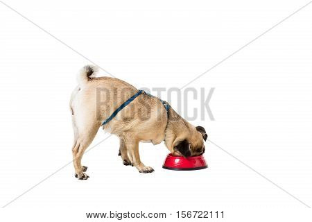 Pug dog isolated on white background. eating food from a bowl