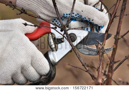 hands in gloves pruning branch of black current with secateurs in the garden