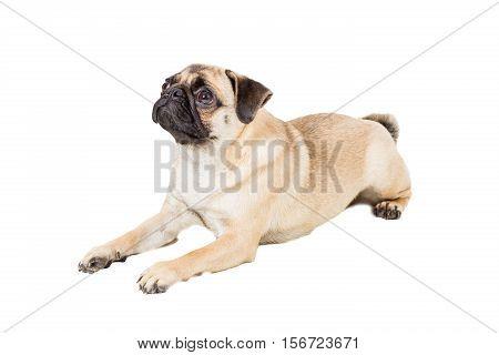 Pug dog isolated on white background. dog lies and looks