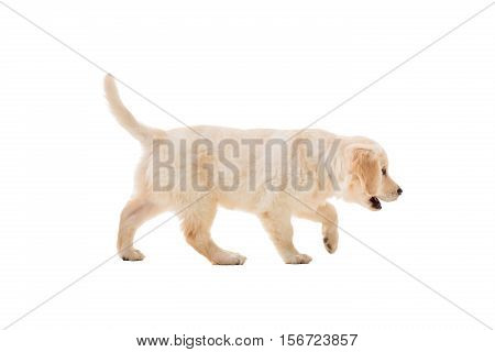 puppy golden retriever on a white background isolated. It is fun. side view