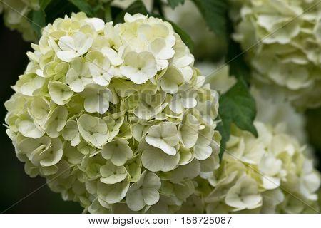 White inflorescence Viburnum close up on bush
