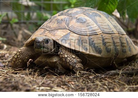 Reptiles / Turtle slowly creeps on the ground