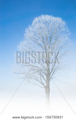 Frozen tree frosty twigs on snowbound snowfield scene with misty fog haze at nice weather winter snowy morning