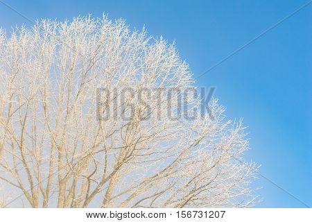 Nice winter weather scenery at frosty morning with frozen tree branches against cloudless bright blue sky