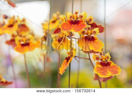 Tolumnia Culture Orchid