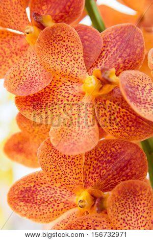 Orange Vanda Orchid.