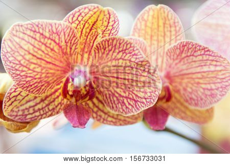 Yellow And Red Vanda Orchid.
