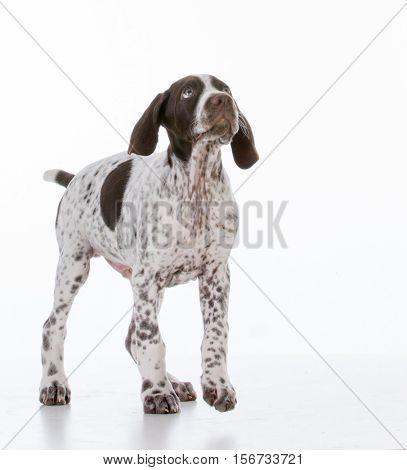 german shorthair pointer puppy