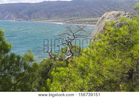 Dried relict pine on the sea coast. Crimea September.