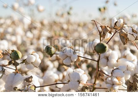Cotton ball in full bloom - agriculture farm crop image