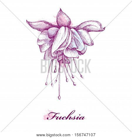 Sketch of Fuchsia flower isolated on white background with blots in pastel colors