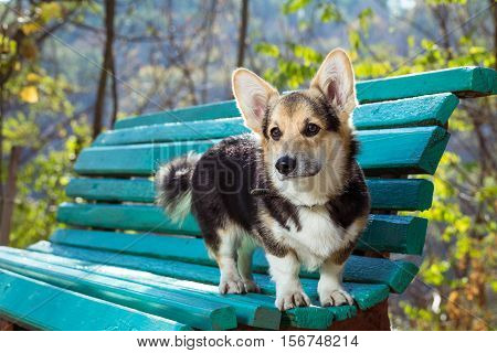 Welsh Corgi stands on the bench. Pembroke welsh corgi in autumn park.