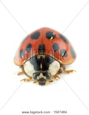 ladybug Asian beetle also called Harmonia axyridis poster
