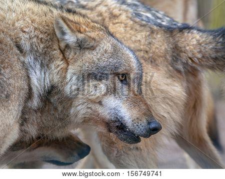 Flock Of Grey Wolf