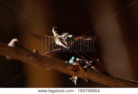 Courtship ritual of robber flies, in full flight
