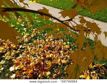 Yellow Fall Leaves On The Branches