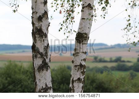 Two birch trees / Birch foliage / Leaves of birch in forest
