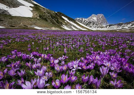 Plateau of Campo Imperatore with violet crocus flowering - Gran Sasso d'Italia, Abruzzo, Italy poster
