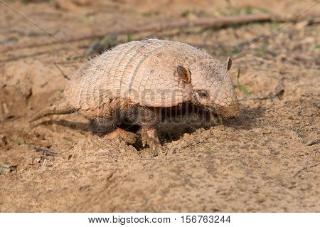 Six-Banded Armadillo (Euphractus Sexcinctus) digging for insects