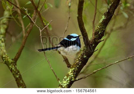 Superb fairywren sit on a tree branch near the Jenolan Caves athe the Blue Mountains in New South Wales Australia