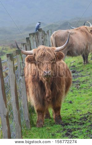 A dreary Scottish day with a Highland cow standing by the fence line.
