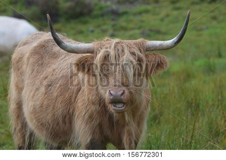 Highland cattle with his mouth open while he chews.