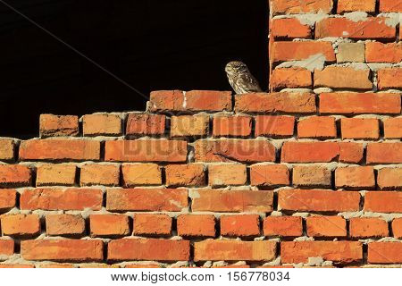 owl on a brick wall, Athene noctua, little owl