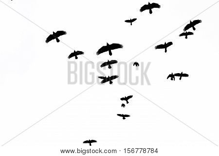 rooks flock flying through the sky, black birds, opened wing silhouettes