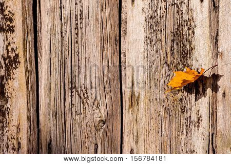 bright orange with a red maple leaf on the background of the wooden planks of gray with brown colors, sunny autumn day in October, a beautiful day, a maple leaf, one, close-up, leaf ruffled wind