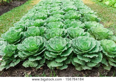 green cabbages in the cabbages field , Healthy Food