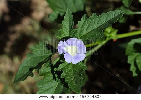 Flower of an Apple of Peru plant Nicandra physalodes.