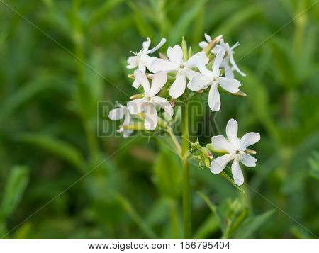 Night-flowering catchfly - Silene noctiflora, close up nature photo